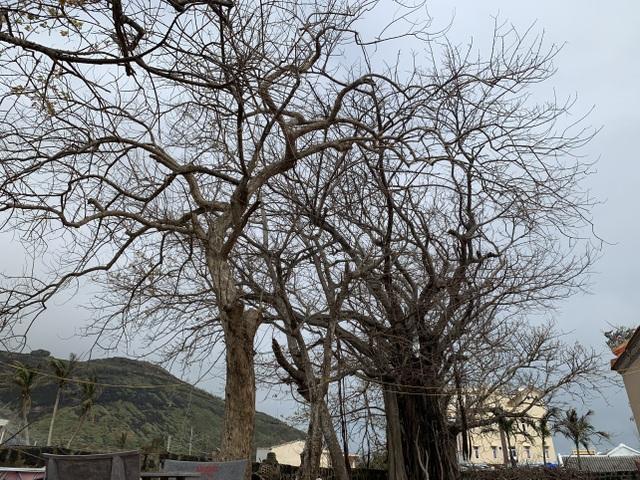 Cây xanh trên đảo tiền tiêu trụi lá sau bão lớn - 7