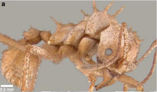 Loài kiến kỳ lạ có lớp áo giáp sinh học chưa từng thấy ở côn trùng - 1
