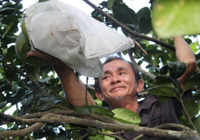 Nông dân Hoài Ân đổi đời nhờ trồng bưởi da xanh - 1