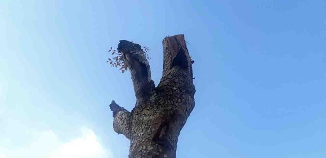 Hàng loạt cây xanh trong khuôn viên nhà trường bị cắt tỉa cành trơ trọi - 6