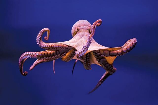Hé lộ bí mật của quái vật biển cả có 3 trái tim, 9 bộ óc - 1