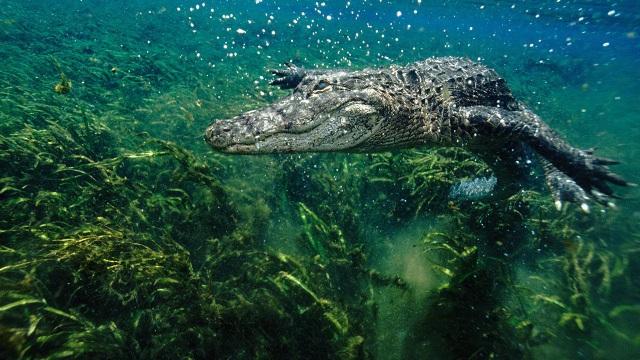 Cá sấu có thể mọc lại đuôi như thằn lằn - 1