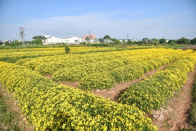 Hoa cúc tiến Vua Hưng Yên vào mùa vàng rực - 5