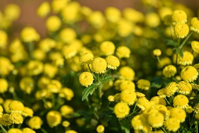 Hoa cúc tiến Vua Hưng Yên vào mùa vàng rực - 14