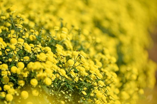 Hoa cúc tiến Vua Hưng Yên vào mùa vàng rực - 1