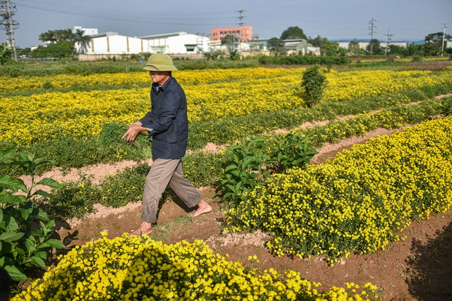 Hoa cúc tiến Vua Hưng Yên vào mùa vàng rực - 4