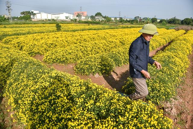Hoa cúc tiến Vua Hưng Yên vào mùa vàng rực - 3