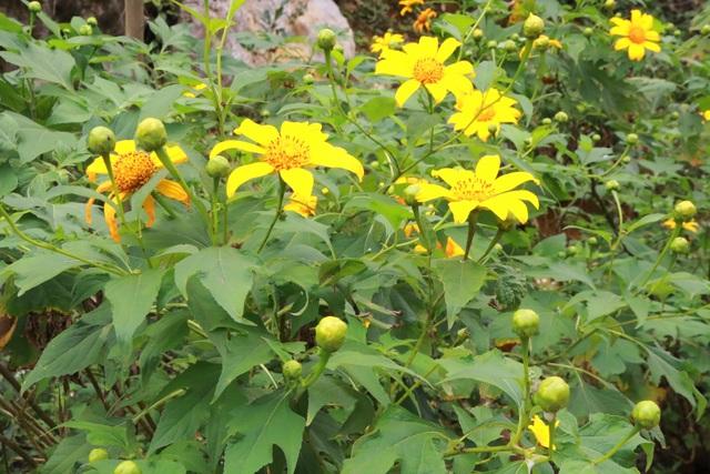 Loài hoa nổi tiếng Đà Lạt bung lụa ở Tràng An làm đắm say lòng du khách - 2
