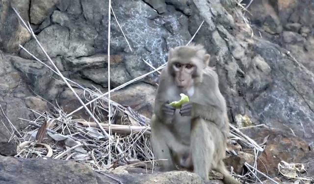 Đà Nẵng khuyến cáo du khách tham quan Sơn Trà không cho khỉ ăn - 3
