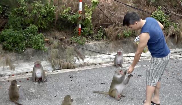 Đà Nẵng khuyến cáo du khách tham quan Sơn Trà không cho khỉ ăn - 1