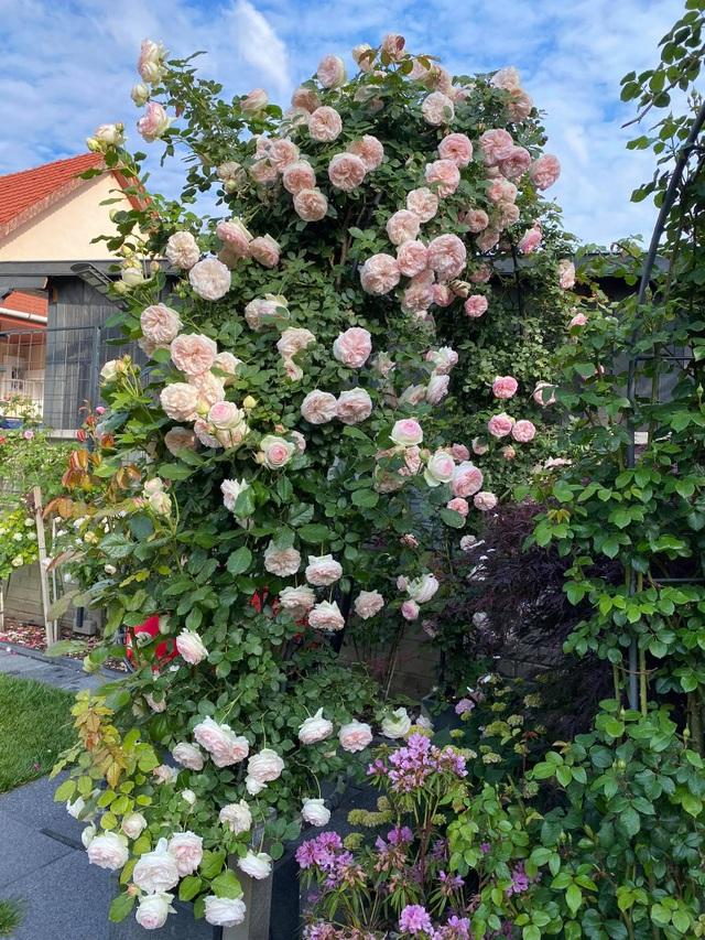 Choáng ngợp vườn hồng ngoại đẹp như cổ tích của vợ chồng Việt ở trời Tây - 5