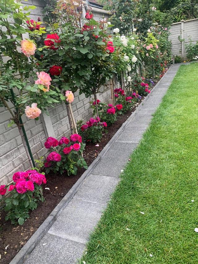 Choáng ngợp vườn hồng ngoại đẹp như cổ tích của vợ chồng Việt ở trời Tây - 2