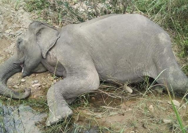 Chú voi cuối cùng ở Bắc Tây Nguyên đã chết bên bờ suối - 2