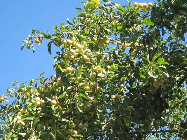 Trang trại trăm loại cây trái trĩu trịt quả của cặp vợ chồng Pháp - Việt - 8