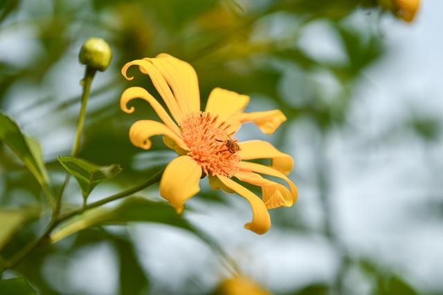 Thích thú check-in với hoa dã quỳ đẹp ngất ngây ngay giữa lòng Hà Nội - 8