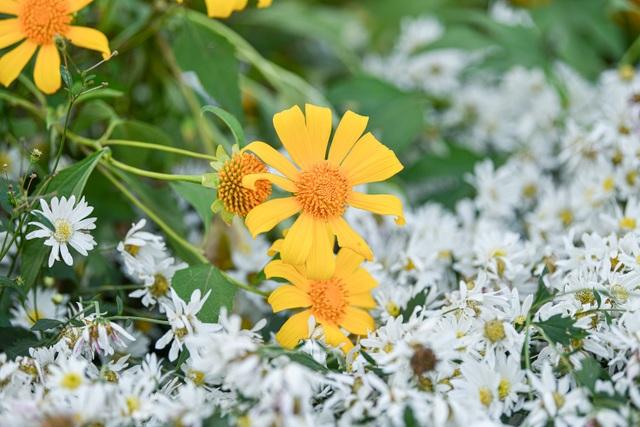 Thích thú check-in với hoa dã quỳ đẹp ngất ngây ngay giữa lòng Hà Nội - 1