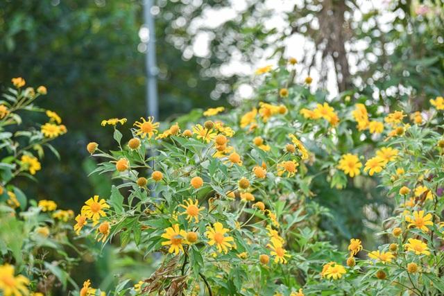Thích thú check-in với hoa dã quỳ đẹp ngất ngây ngay giữa lòng Hà Nội - 5