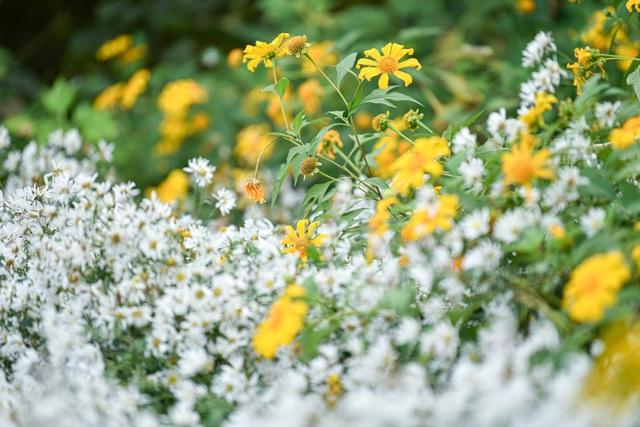Thích thú check-in với hoa dã quỳ đẹp ngất ngây ngay giữa lòng Hà Nội - 6