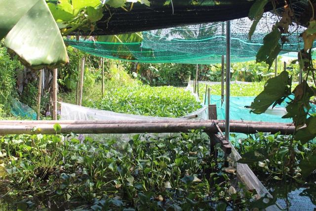 Đầu tư nuôi ốc nhồi, anh nông dân kiếm cả trăm triệu đồng mỗi năm - 3