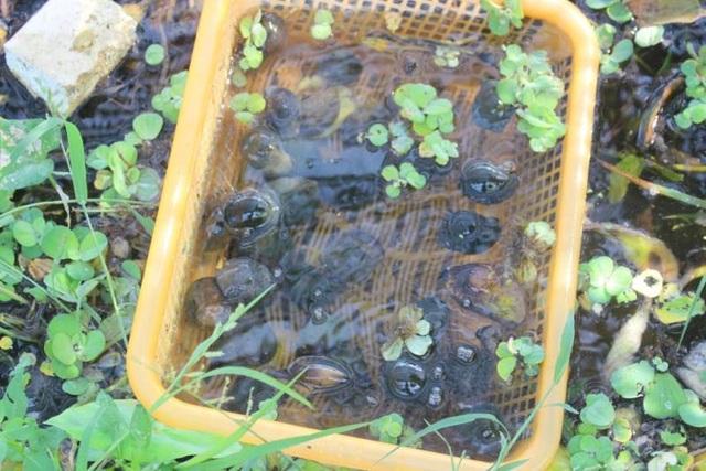 Đầu tư nuôi ốc nhồi, anh nông dân kiếm cả trăm triệu đồng mỗi năm - 1
