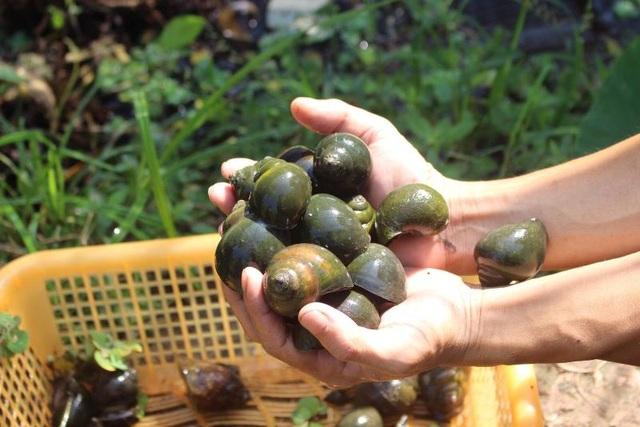 Đầu tư nuôi ốc nhồi, anh nông dân kiếm cả trăm triệu đồng mỗi năm - 5