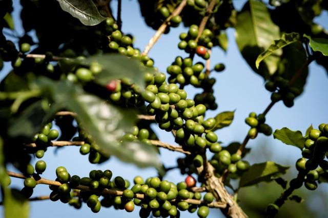 Ba yếu tố then chốt tạo dựng mô hình sản xuất cà phê bền vững - 1