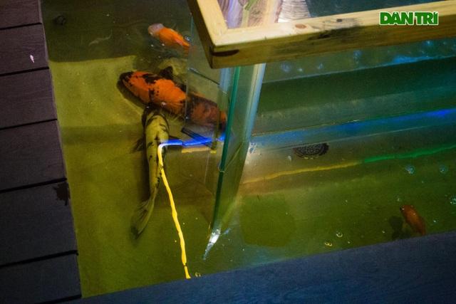 Uống cà phê ngắm cá Koi khủng độc đáo ở Hà Nội - 6
