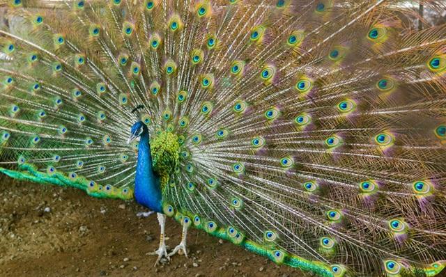 Thuần hóa chim công bằng nước muối, bán tới 80 triệu đồng 1 trống 3 mái - 2