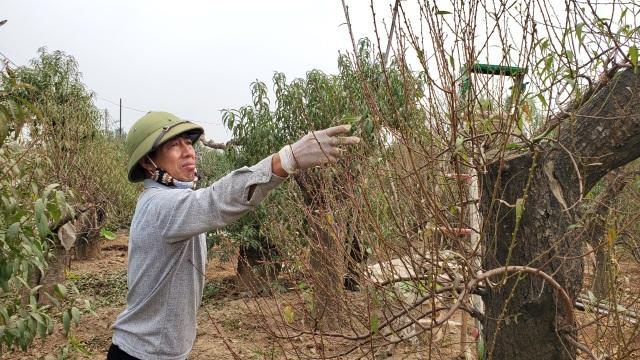 Người làm nghề trồng đào Nhật Tân lo cho vụ mùa dịp Tết Nguyên đán  - 9
