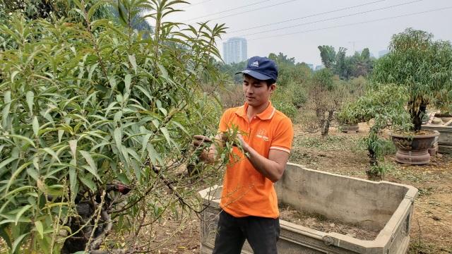 Người làm nghề trồng đào Nhật Tân lo cho vụ mùa dịp Tết Nguyên đán  - 4