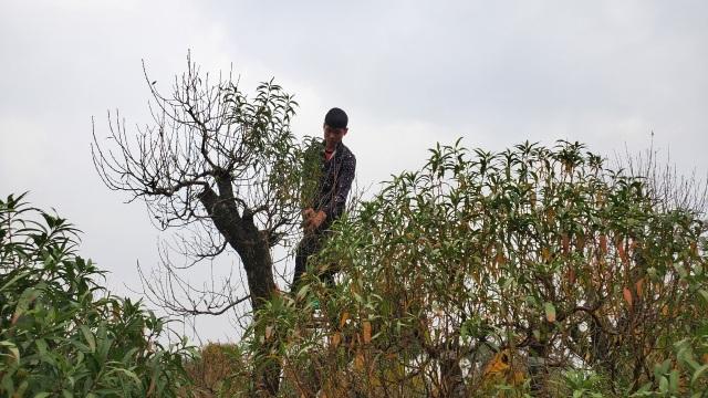 Người làm nghề trồng đào Nhật Tân lo cho vụ mùa dịp Tết Nguyên đán  - 7