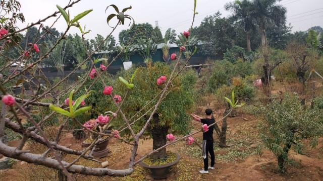 Người làm nghề trồng đào Nhật Tân lo cho vụ mùa dịp Tết Nguyên đán  - 6