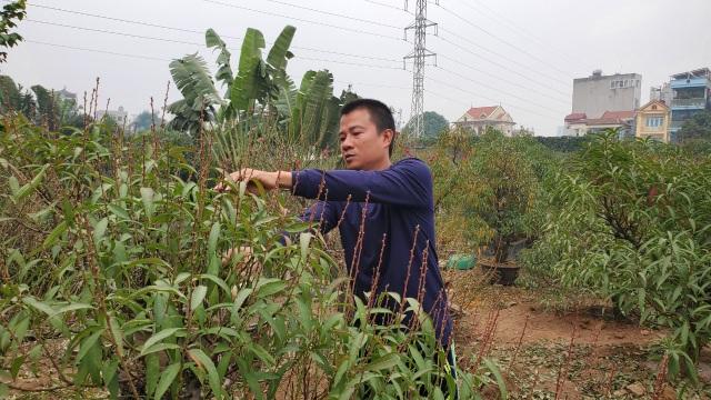 Người làm nghề trồng đào Nhật Tân lo cho vụ mùa dịp Tết Nguyên đán  - 1