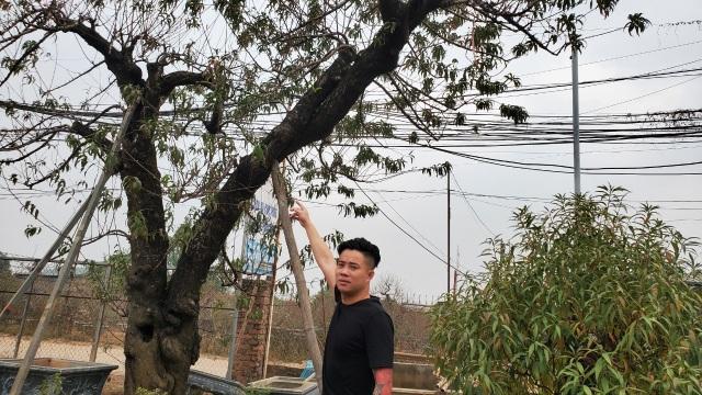 Người làm nghề trồng đào Nhật Tân lo cho vụ mùa dịp Tết Nguyên đán  - 10