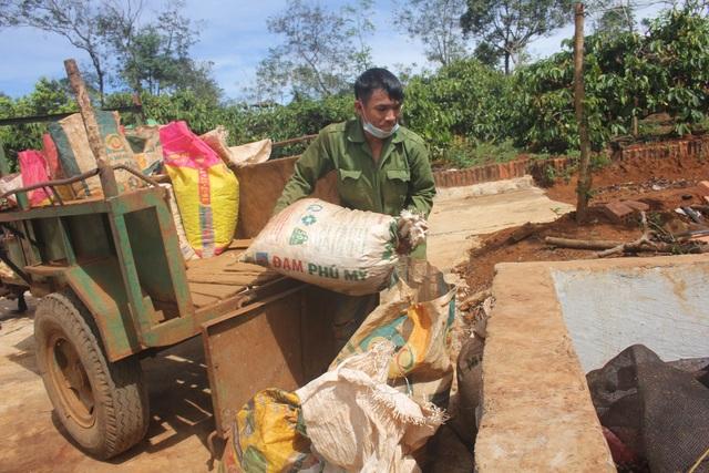 Chủ vườn cà phê ở Gia Lai đỏ mắt tìm nhân công thu hoạch - 2