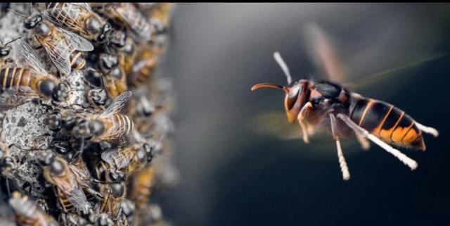 Kỳ lạ loài ong sử dụng … phân động vật làm vũ khí bảo vệ tổ - 1