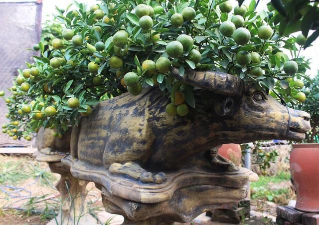 Trâu vàng cõng quất bonsai hút khách sành chơi, giá chục triệu đồng - 2