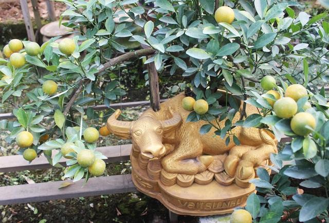 Trâu vàng cõng quất bonsai hút khách sành chơi, giá chục triệu đồng - 1