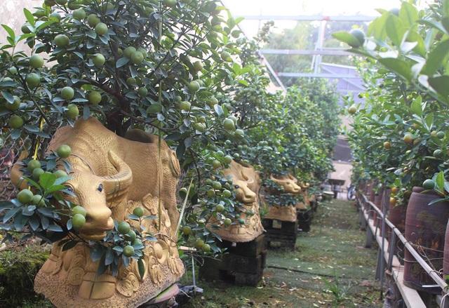 Trâu vàng cõng quất bonsai hút khách sành chơi, giá chục triệu đồng - 4