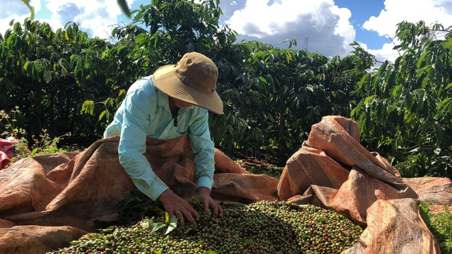 Chủ vườn cà phê ở Gia Lai đỏ mắt tìm nhân công thu hoạch - 1