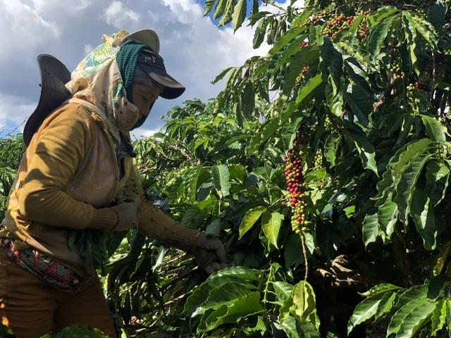 Chủ vườn cà phê ở Gia Lai đỏ mắt tìm nhân công thu hoạch - 3