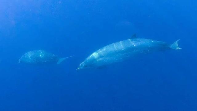 Lần đầu tiên phát hiện ra một loài cá voi hoàn toàn mới - 1