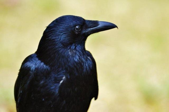 Những con quạ 4 tháng tuổi có thể thông minh như vượn trưởng thành - 1