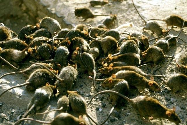 Chuột siêu miễn nhiễm với chất độc có thể làm bùng nổ loài gặm nhấm ở Anh - 1