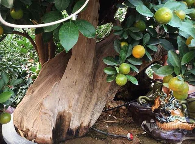 Thân cây xác khô đẻ trăm quả vàng, đại gia rút tiền mua chơi Tết sớm - 2