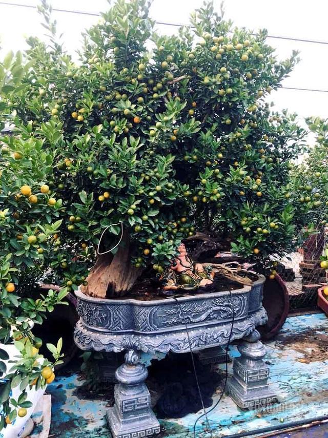 Thân cây xác khô đẻ trăm quả vàng, đại gia rút tiền mua chơi Tết sớm - 5