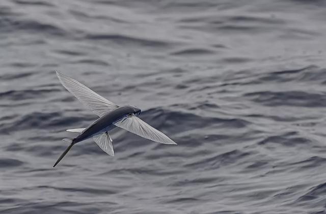Hé lộ sự thật về loài cá bay - 1
