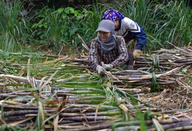 Chuyện thoát nghèo nhờ cây mía ở huyện miền núi Thạch Thành - 3