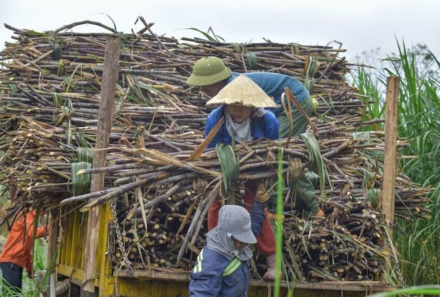 Chuyện thoát nghèo nhờ cây mía ở huyện miền núi Thạch Thành - 5