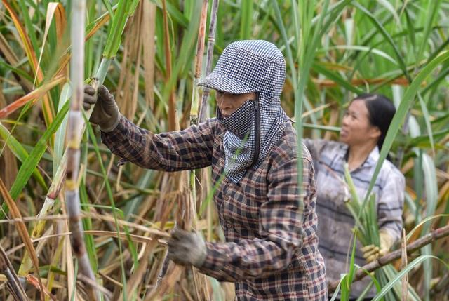 Chuyện thoát nghèo nhờ cây mía ở huyện miền núi Thạch Thành - 4